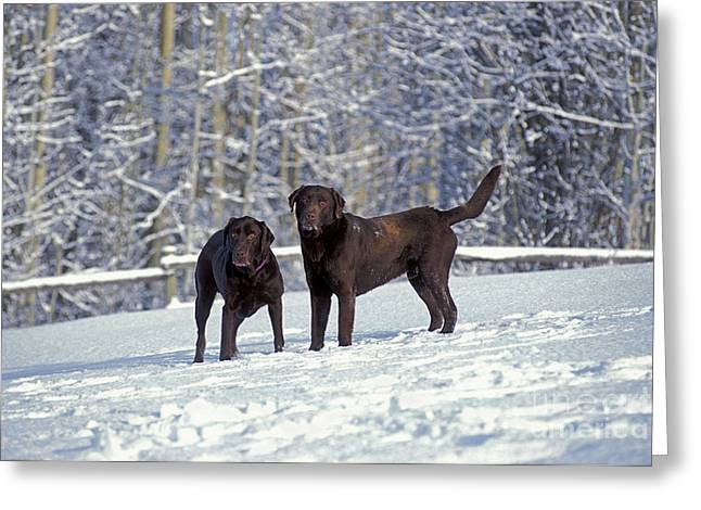 Chocolate Lab Greeting Cards - Chocolate Labrador Retrievers Greeting Card by Rolf Kopfle