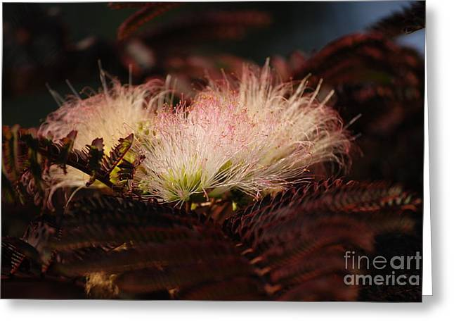 Pudica Greeting Cards - Chocolate Mimosa Flower Greeting Card by Mark McReynolds