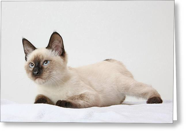 Siamese Cat Greeting Card Greeting Cards - Chocolate point siamese Greeting Card by Kimber  Butler
