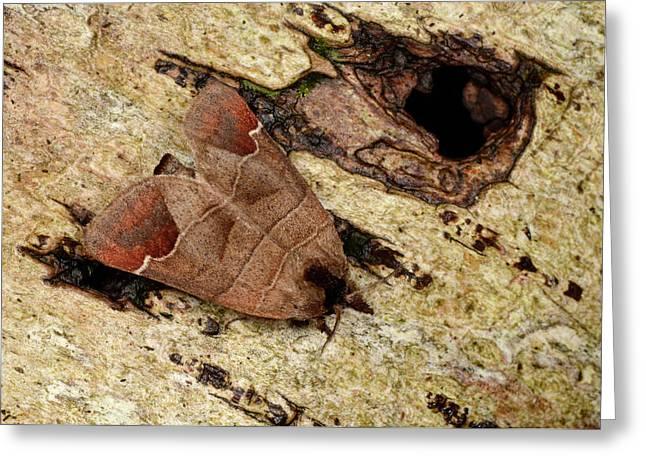 Chocolate-tip Moth Greeting Card by Nigel Downer