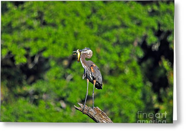 Grey Heron Greeting Cards - Choice Catch Greeting Card by Al Powell Photography USA