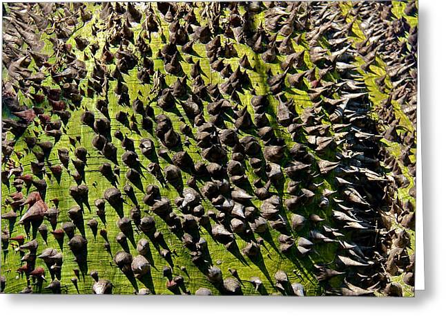Thorny Desert Plant Greeting Cards - Chorisia Insignis Close-up Greeting Card by Denise Mazzocco