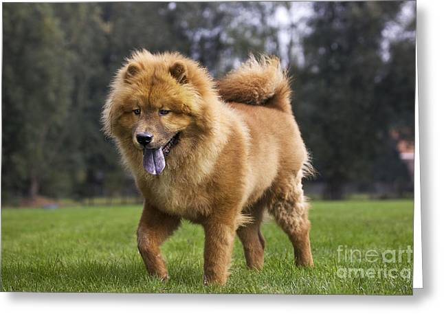 Chow Greeting Cards - Chow Chow Dog Greeting Card by Johan De Meester