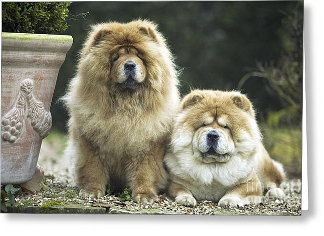 Best Friend Greeting Cards - Chow Chow Dogs Greeting Card by Jean-Michel Labat