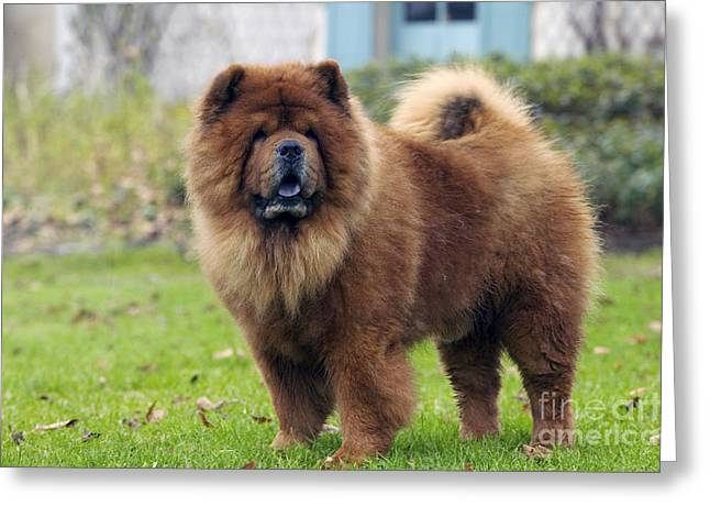 Chow Greeting Cards - Chow Chow Greeting Card by Jean-Michel Labat