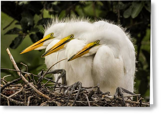 Alligator Farm Greeting Cards - Chow Line Greeting Card by Priscilla Burgers