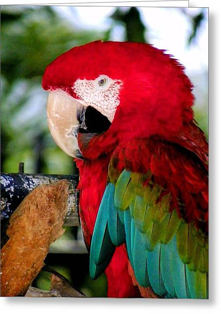 Wild Parrots Greeting Cards - Chowtime Greeting Card by Karen Wiles
