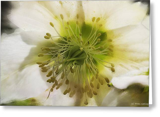 Helleborus Niger Greeting Cards - Christman Rose Greeting Card by Fran Gallogly