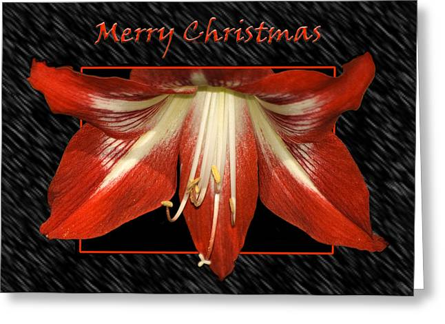 Christmas Amaryllis Greeting Card by Carolyn Marshall