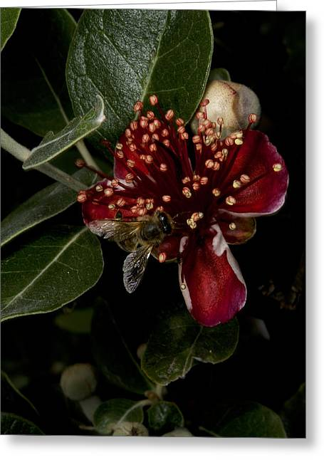 Australian Bees Greeting Cards - Christmas Bush With Bee Greeting Card by Graham Palmer