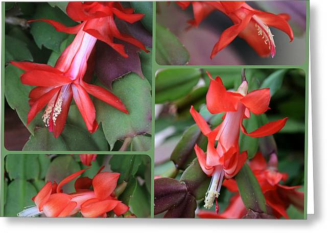 Christmas Cactus Greeting Cards - Christmas Cactus Collage Greeting Card by Carol Groenen