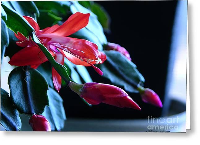 Julianne Felton Greeting Cards - Christmas cactus in bloom Greeting Card by Julianne Felton