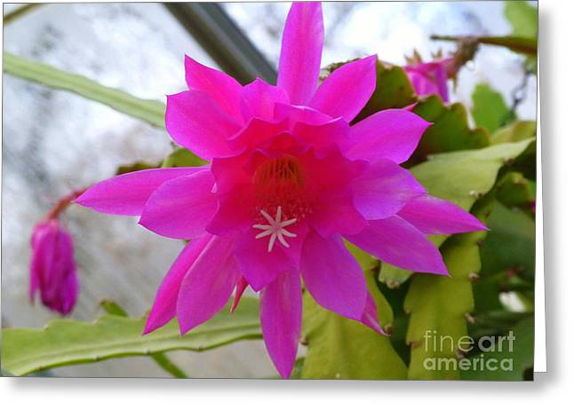 Winter Blooming Houseplant Greeting Cards - Christmas Cactus Star Greeting Card by Lingfai Leung