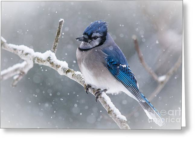 Christmas Card Bluejay Greeting Card by Cheryl Baxter
