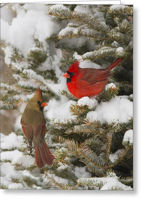 Female Northern Cardinal Greeting Cards - Christmas card with cardinals Greeting Card by Mircea Costina Photography