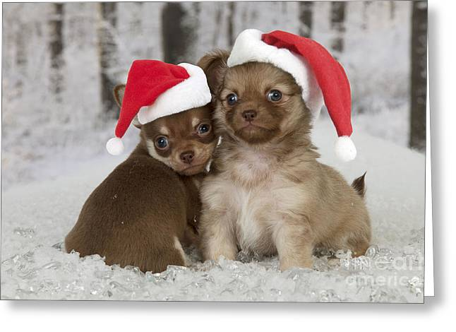 Dogs In Snow. Greeting Cards - Christmas Chihuahuas Greeting Card by John Daniels