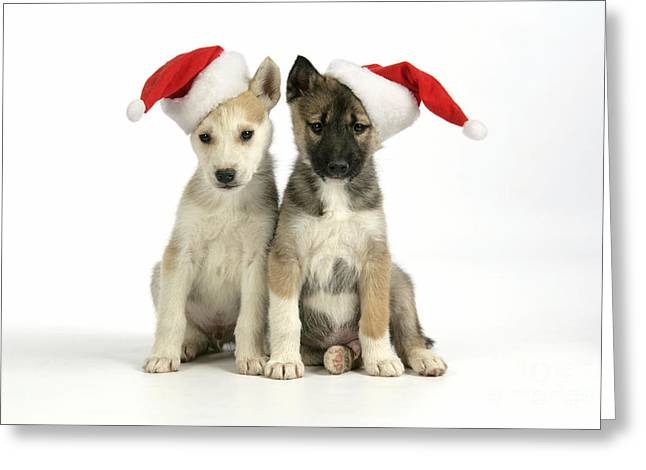 Husky Puppy Greeting Cards - Christmas Huskies Greeting Card by John Daniels