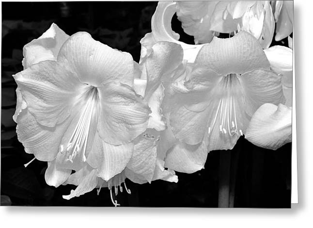 Phipps Conservatory Greeting Cards - Christmas Lilies. Greeting Card by Digital Photographic Arts