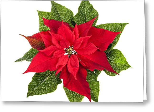 Euphorbia Greeting Cards - Christmas poinsettia  Greeting Card by Elena Elisseeva