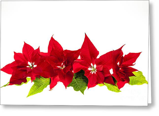Euphorbia Greeting Cards - Christmas poinsettias Greeting Card by Elena Elisseeva
