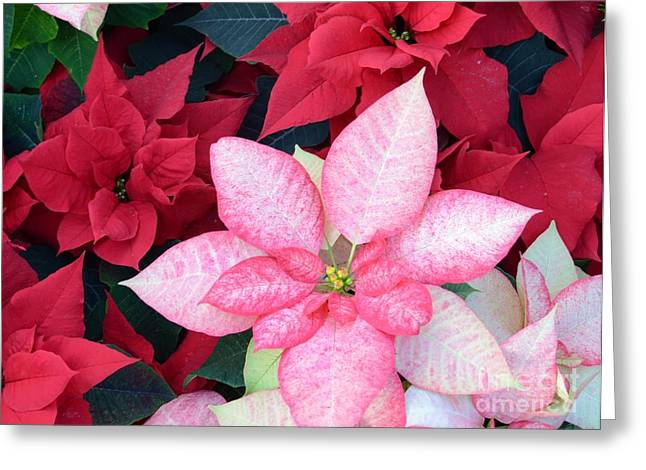 Struckle Greeting Cards - Christmas Pointsettia Greeting Card by Kathleen Struckle