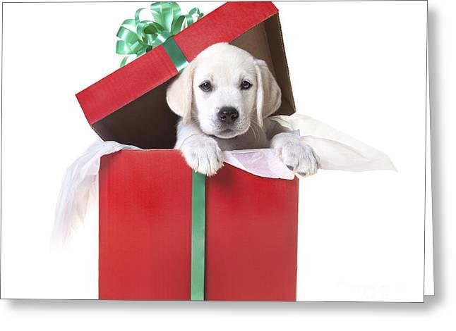 Labrador Retriever Photographs Greeting Cards - Christmas Puppy Greeting Card by Diane Diederich