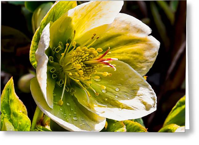 Helleborus Niger Greeting Cards - Christmas Rose Also Called Helleborus Niger Black Hellebore Photographraphed In Sunshine Summer  Greeting Card by Leif Sohlman