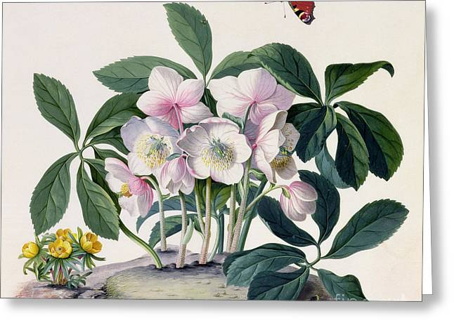 Yellow Leaves Greeting Cards - Christmas Rose Greeting Card by Georg Dionysius Ehret