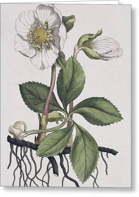 Helleborus Niger Greeting Cards - Christmas rose, historical artwork Greeting Card by Science Photo Library