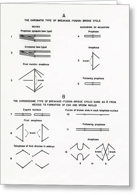 Chromosome Breakage Diagrams Greeting Card by American Philosophical Society