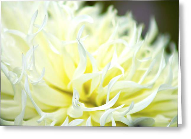 Flower Arraignment Greeting Cards - Chrysanthemum Greeting Card by Danielle Allard