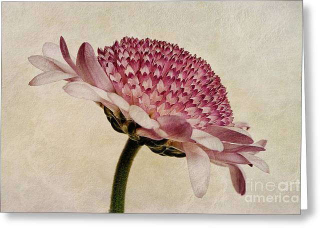 Pink Digital Greeting Cards - Chrysanthemum Domino Pink Greeting Card by John Edwards