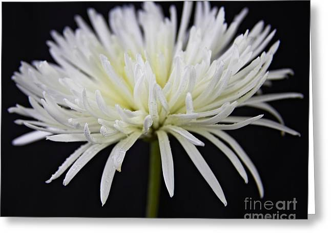 White Pyrography Greeting Cards - Chrysanthemum Greeting Card by Eyzen M Kim