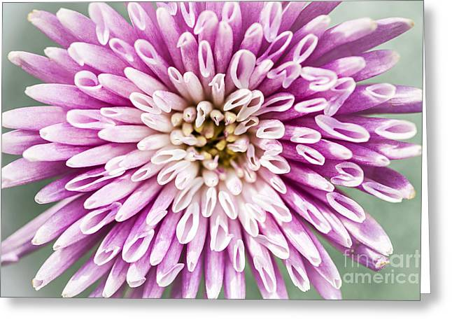 Pink Blossoms Greeting Cards - Chrysanthemum flower closeup Greeting Card by Elena Elisseeva