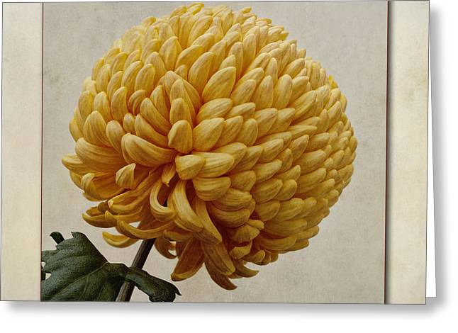 Close Focus Floral Greeting Cards - Chrysanthemum grandiflorum Yellow Greeting Card by John Edwards