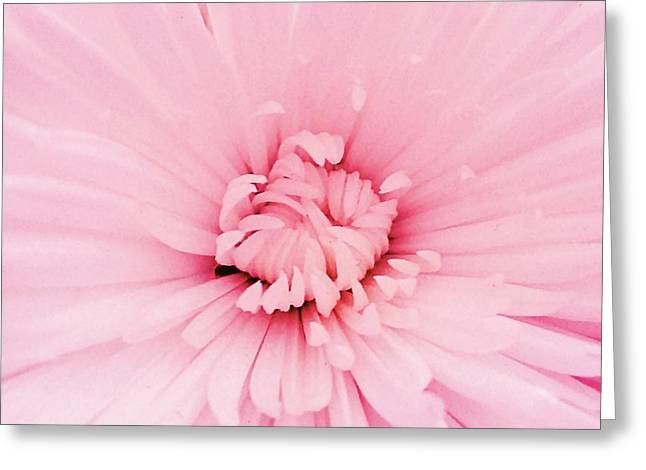 Pale Pink Greeting Cards - Chrysanthemum heart Greeting Card by Sharon Lisa Clarke