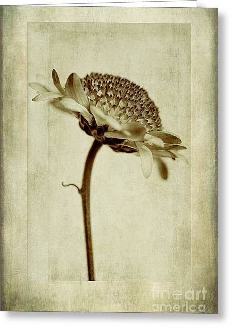 Close Focus Floral Greeting Cards - Chrysanthemum in Sepia Greeting Card by John Edwards