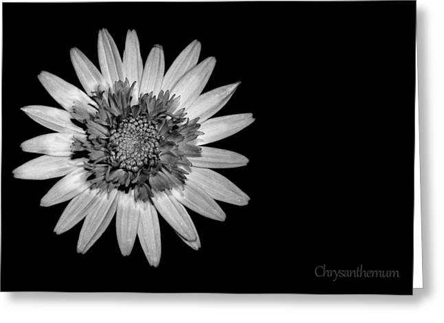 Chrysanthemum Greeting Cards - Chrysanthemum on Black Greeting Card by Mark Rogan