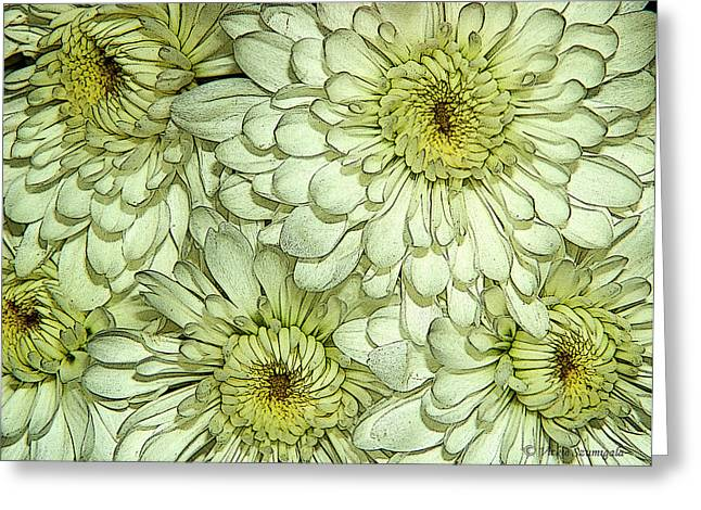 Photo Effects Greeting Cards - Chrysanthemum Greeting Card by Vickie Szumigala