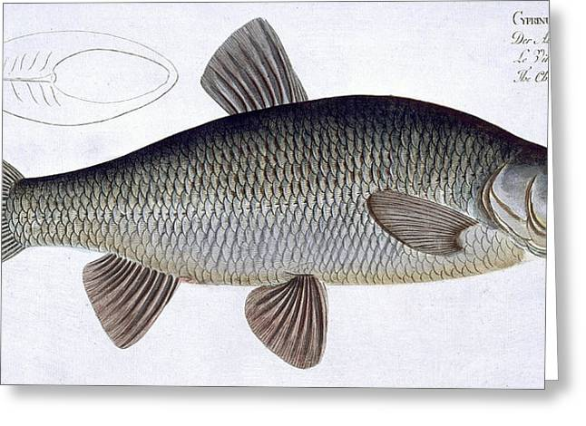 Angling Drawings Greeting Cards - Chub Greeting Card by Andreas Ludwig Kruger
