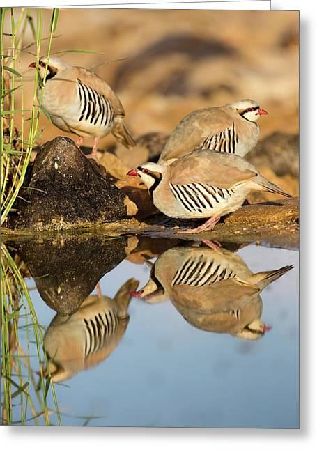 Chukar Partridge Alectoris Chukar Greeting Card by Photostock-israel