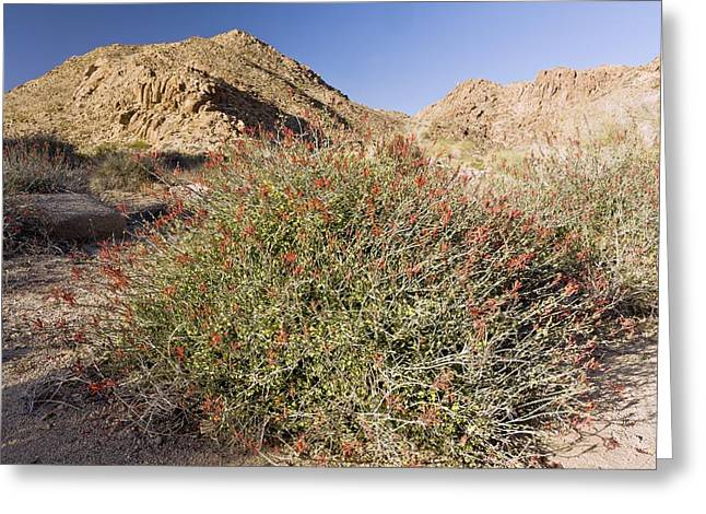 Californian Greeting Cards - Chuparosa (Justicia californica) bush Greeting Card by Science Photo Library