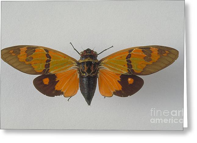 Cicada Greeting Cards - Cicada Greeting Card by Barbara Strnadova