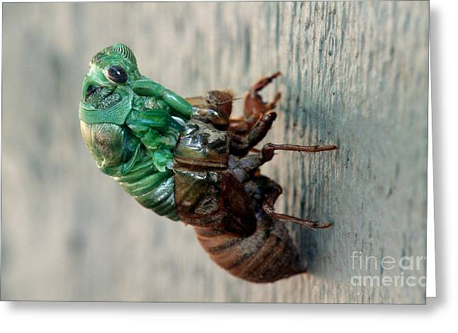 Cicada Greeting Cards - Cicada Emerging From Exoskeleton Greeting Card by James L. Amos