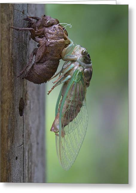 Emergence Greeting Cards - Cicada Emerging Greeting Card by Terry Leasa