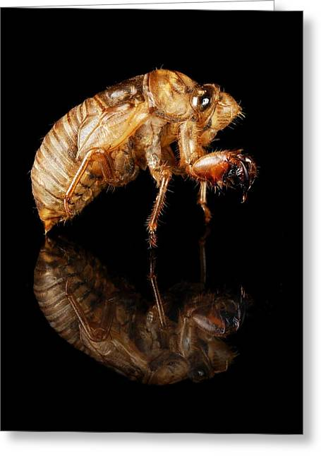 Annuals Greeting Cards - Cicada Greeting Card by Jim Hughes