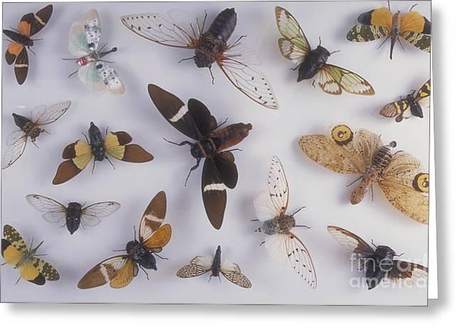 Cicada Greeting Cards - Cicadas & Lantern Flies Greeting Card by Barbara Strnadova