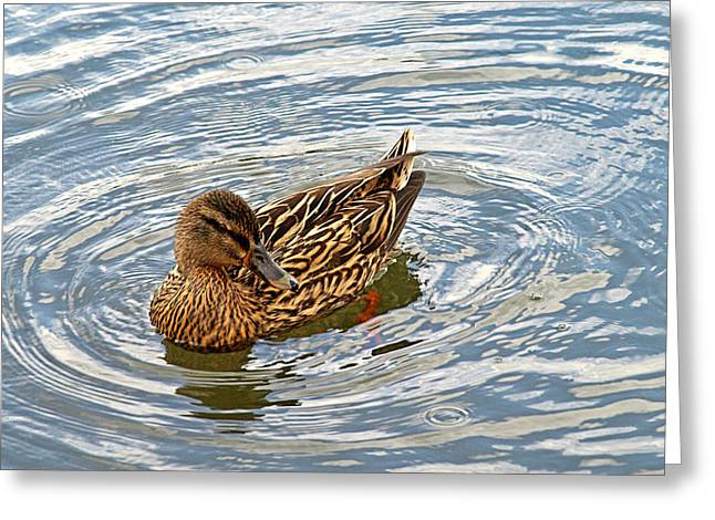 River Of Life Greeting Cards - Circle of Life - Mallard Duck Swimming Greeting Card by Gill Billington