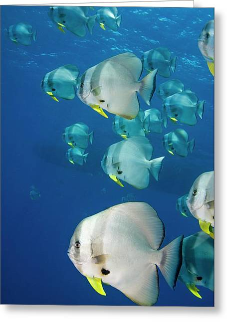 Circular Spadefish Over A Reef Greeting Card by Georgette Douwma
