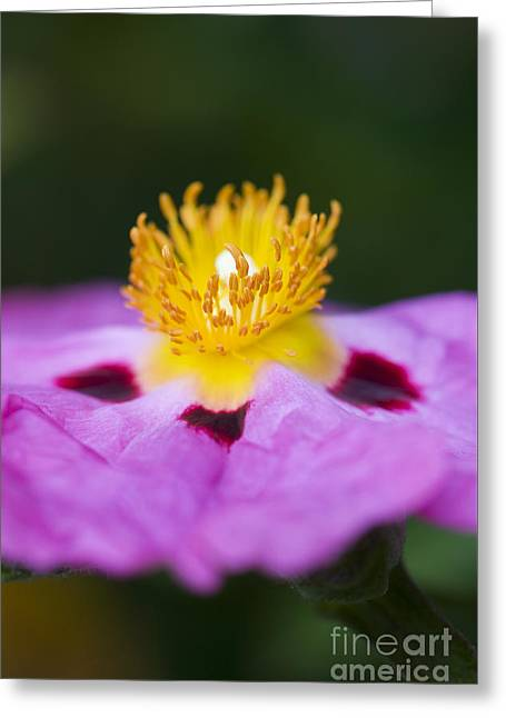 Floral Portrait Greeting Cards - Cistus Purpureus Rock Rose Greeting Card by Tim Gainey